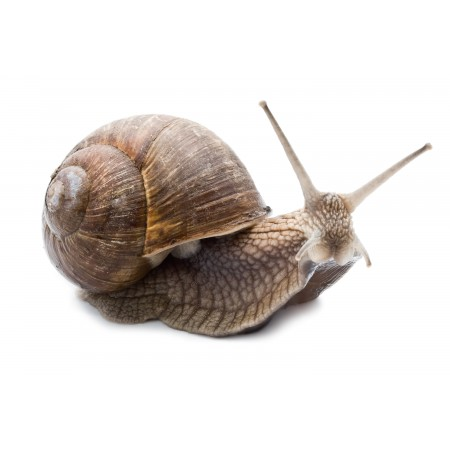 CARACOL PEQUENO (+/- 5KG)